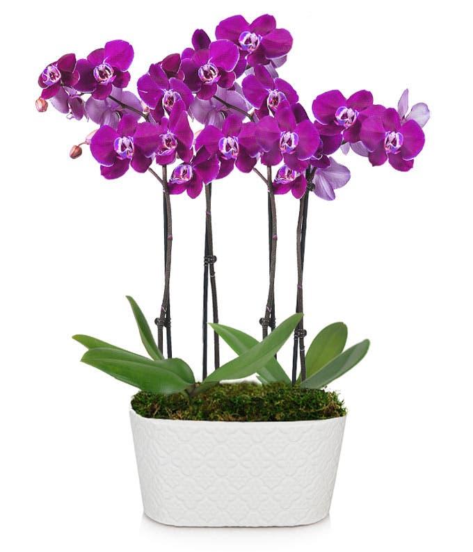 Radiant Joy Orchid Plant