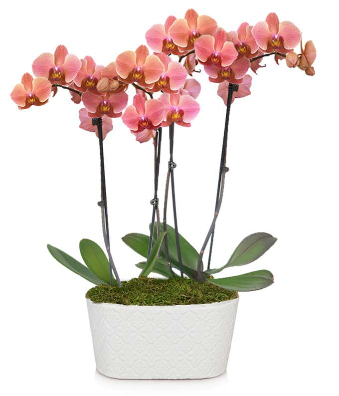 Large peach orchid plant