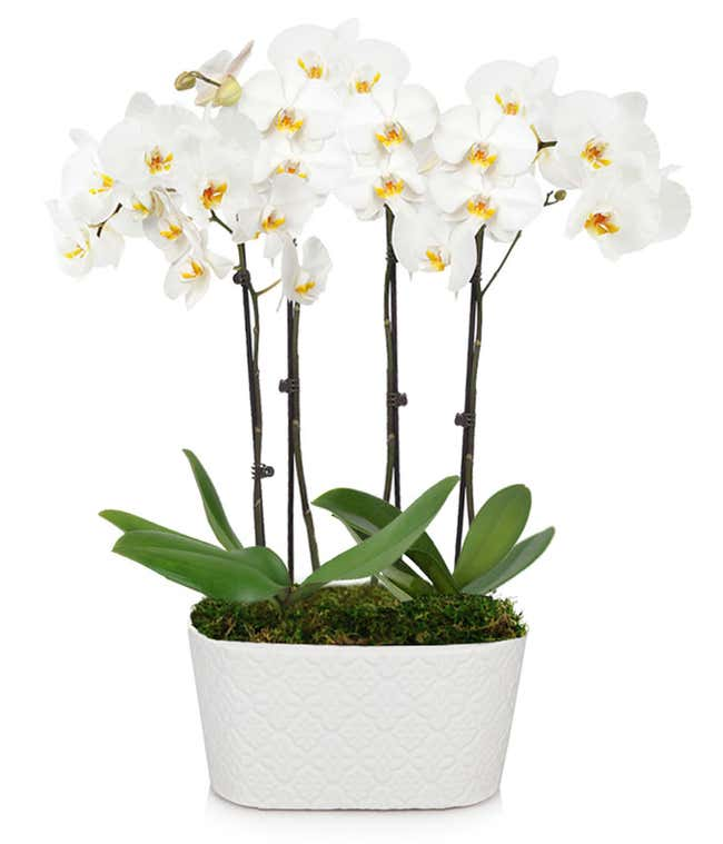 Four White Orchid Stems