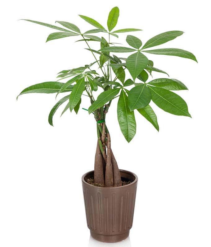 Glad Tidings Money Tree