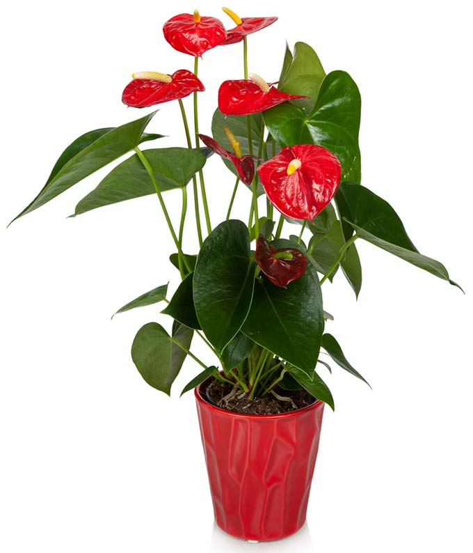 Vibrant Red Anthurium