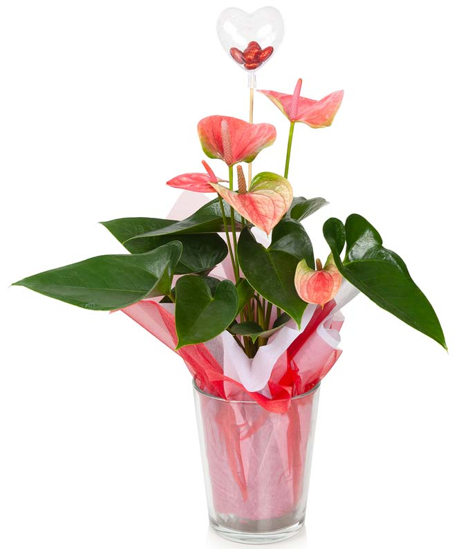 Loving Pink Anthurium