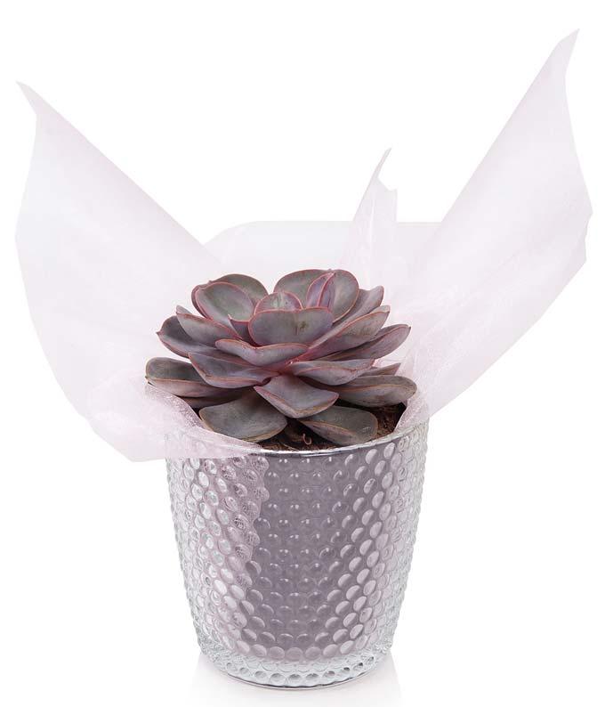 Princess Succulent