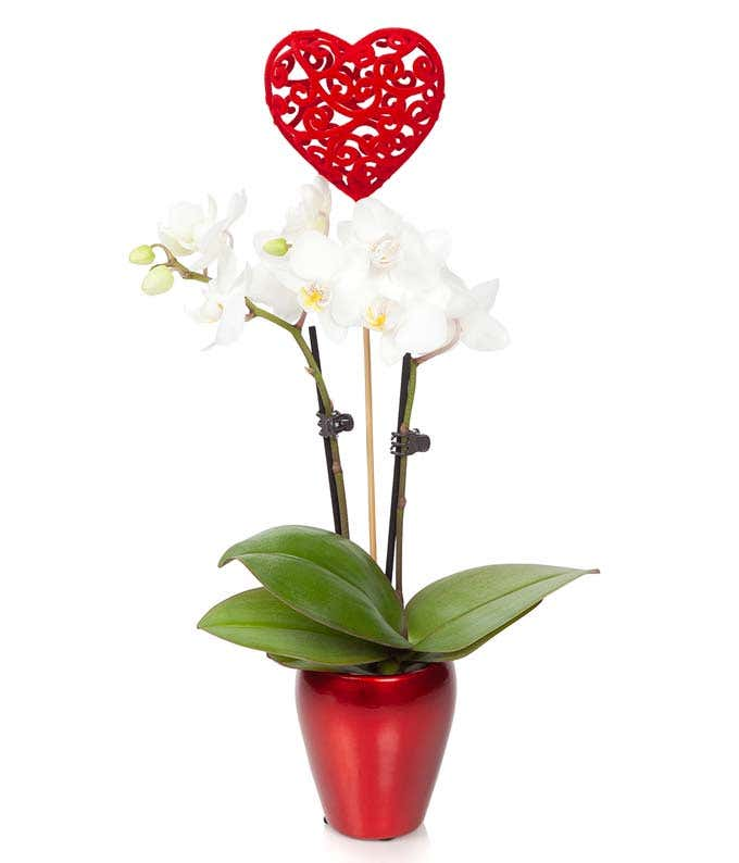 Lovebirds Mini Orchid
