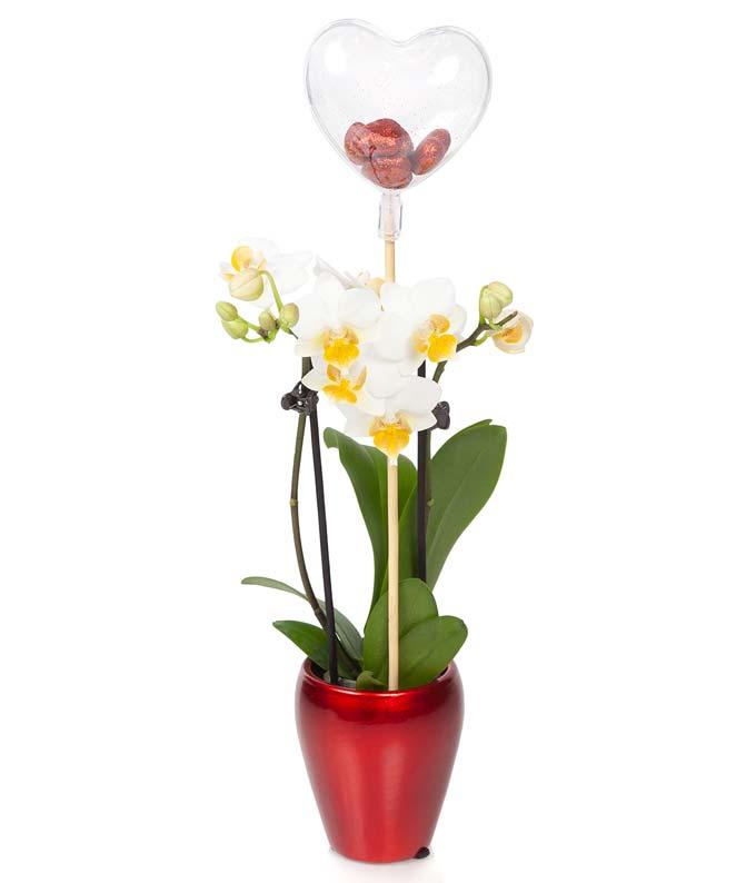 Moonstruck Orchid