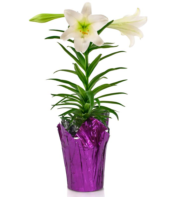 Spirited Easter Lily