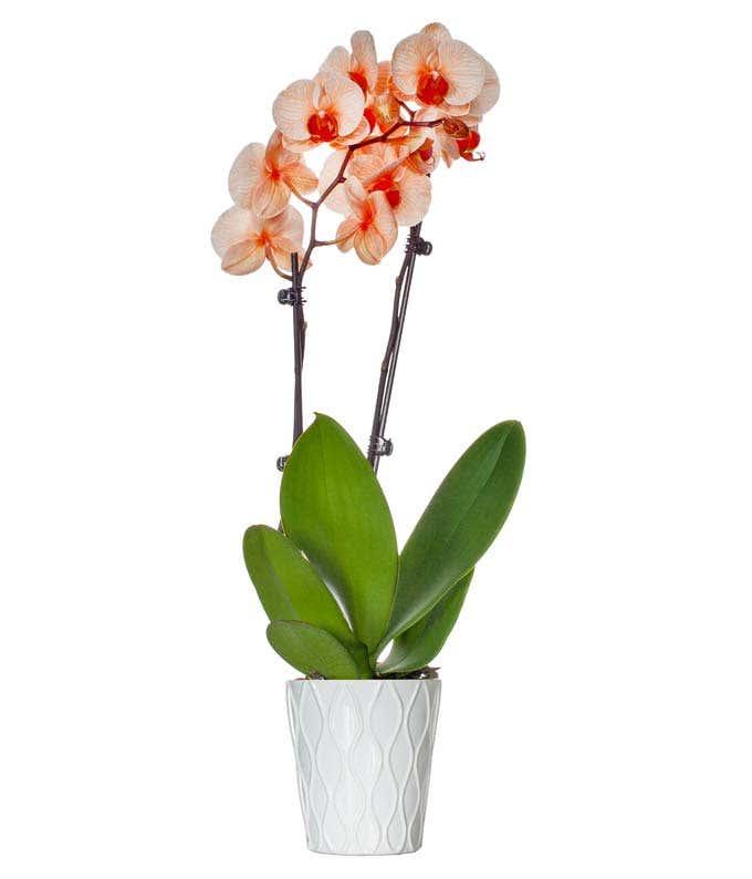 Orange orchid delivered