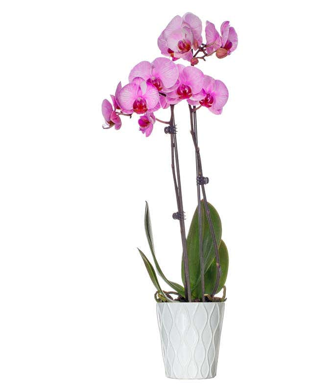 Pink Vibrance Orchid