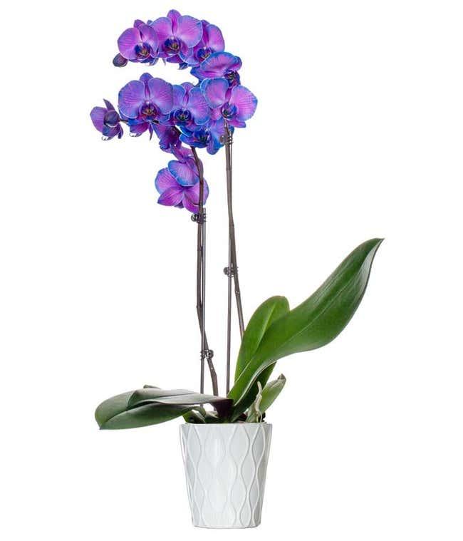 Purple Mystique Orchid