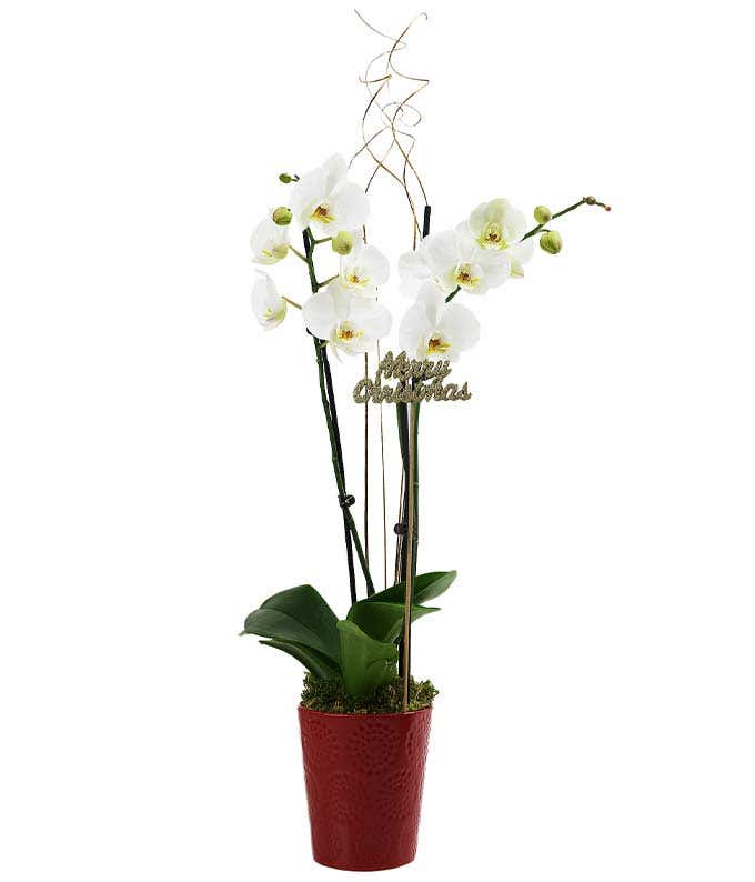 Merry Christmas Potted Orchid