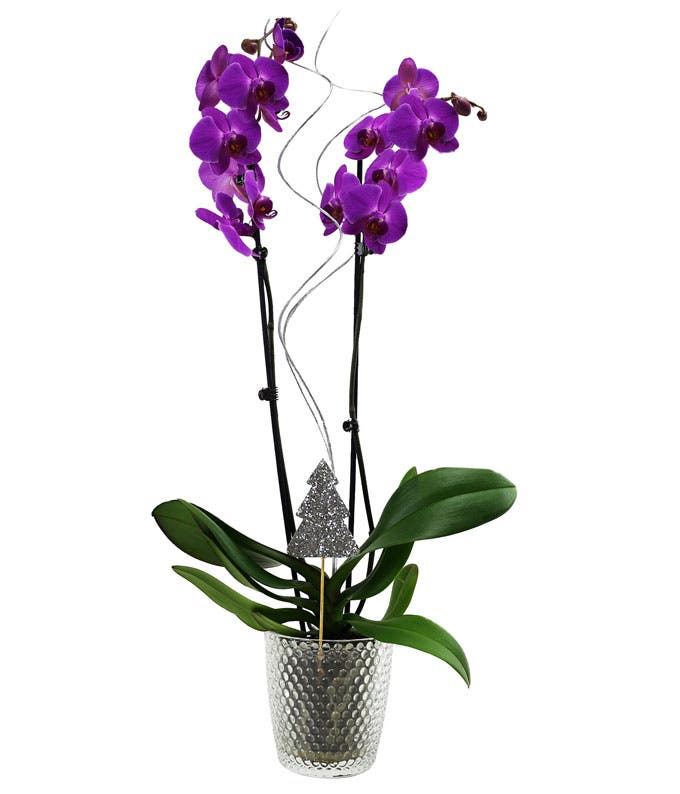 Let It Snow Orchid Plant