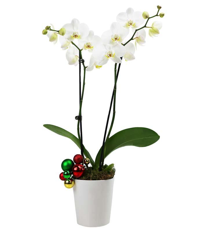 Winter Wonderland Orchid