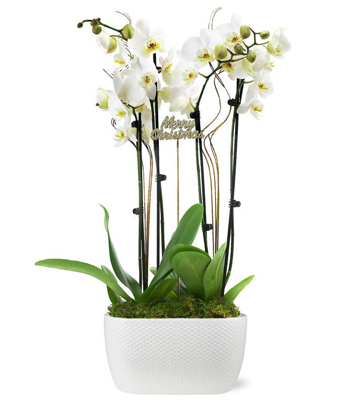 Peace and Joy Orchid Duo