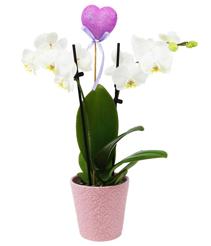 Pastel Pink Potted Orchid