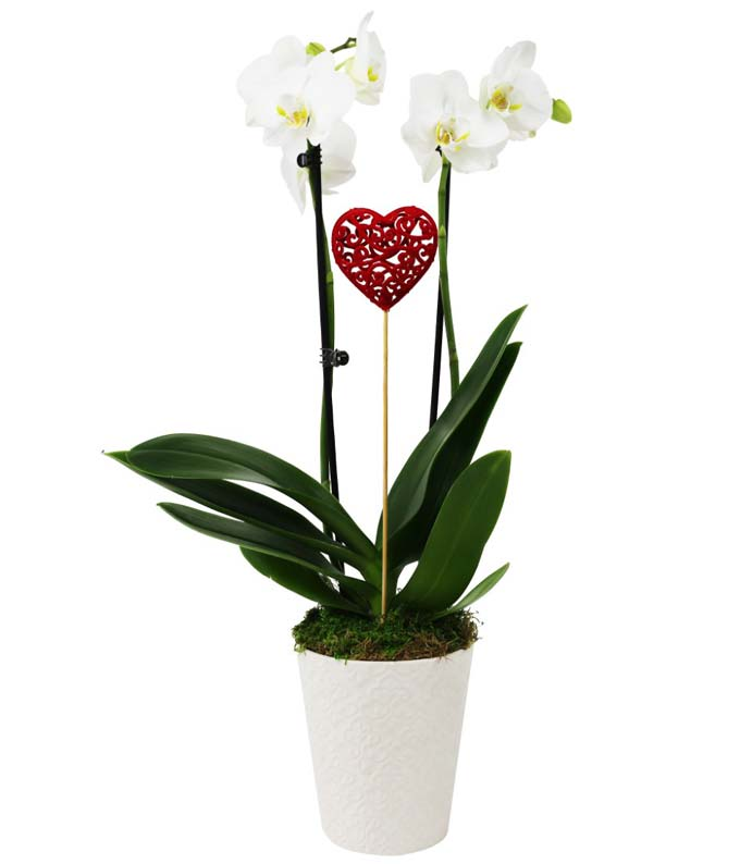 Sweetheart Orchid Planter