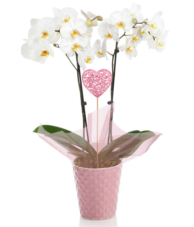 Sweetest Love Potted Orchid