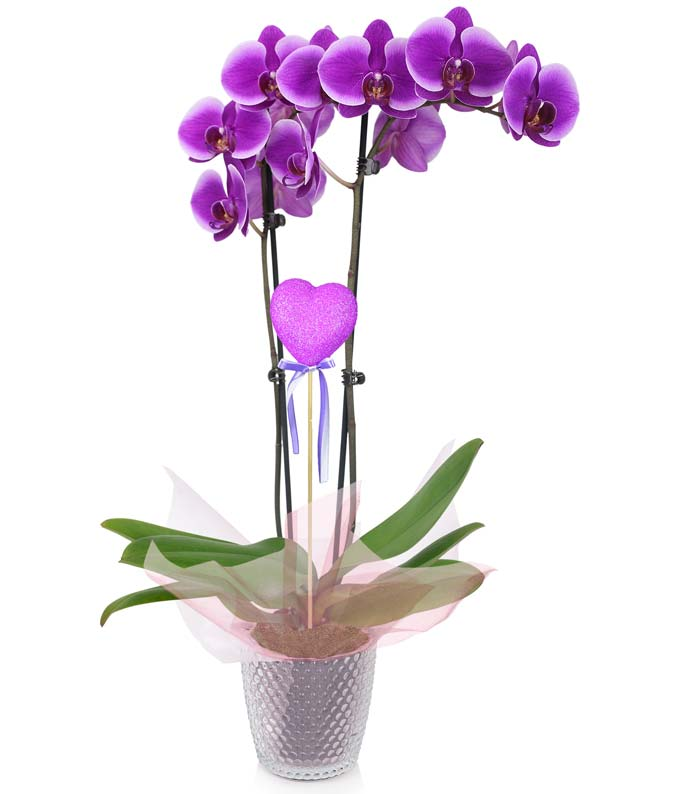 For My Queen Orchid Planter
