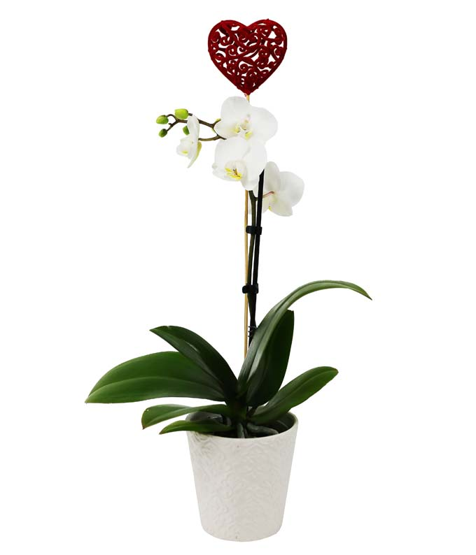 Forever Yours Potted Orchid