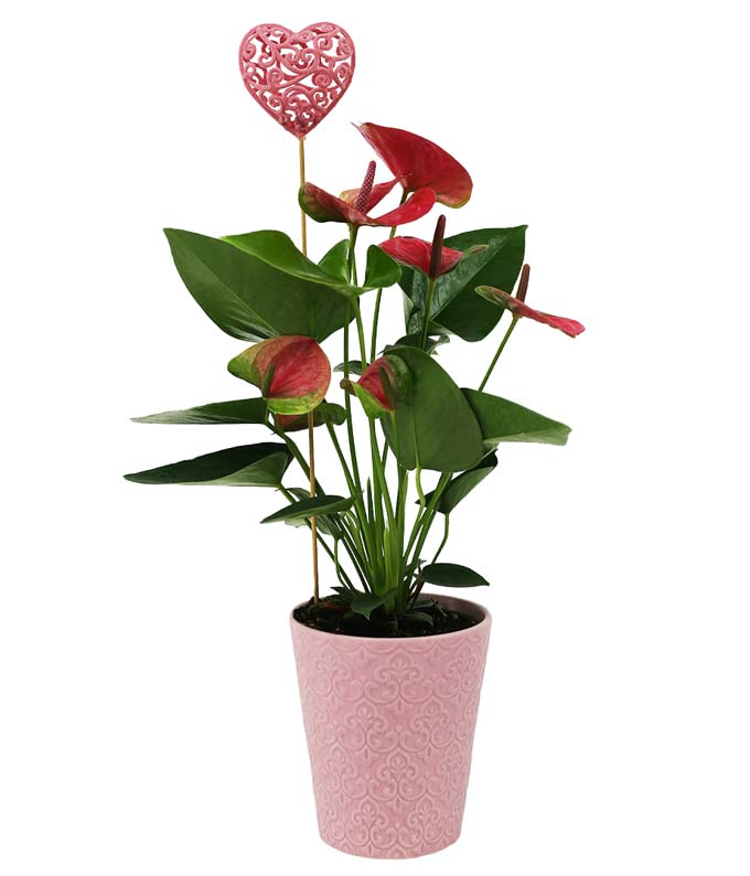 Pink Passion Potted Anthurium