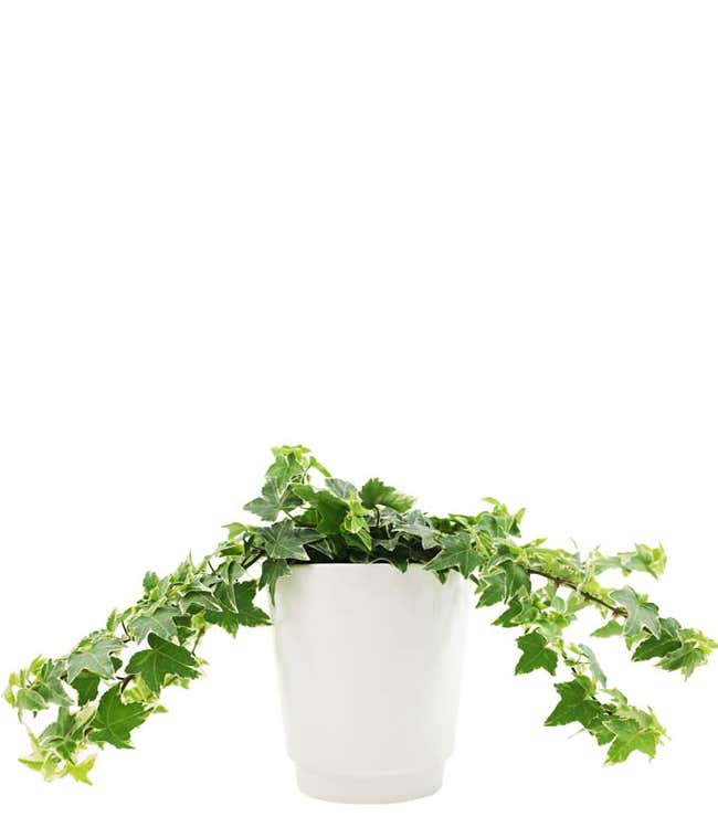 Potted Ivy Planter