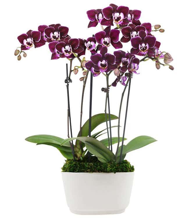 Perfect Plum Mini Orchids