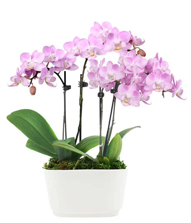 Fantasy Pink Orchids