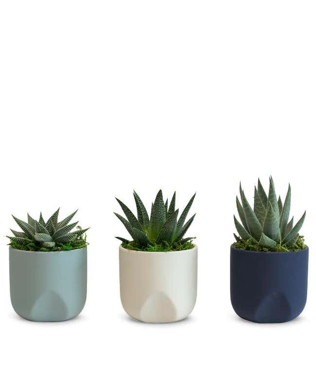 Calming Seas Succulent Trio