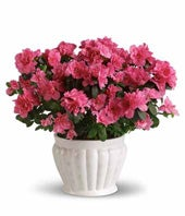 Pink Azalea Plant in a white ceramic container