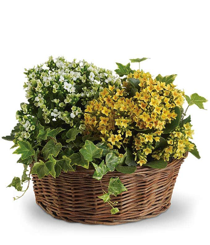 Yellow Kalanchoe plant in basket