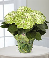 Better Homes and Gardens� Jade Dreams Nobless Hydrangea