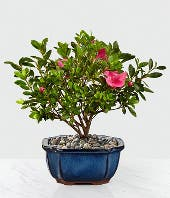 Bonsai Tree with pink flowers