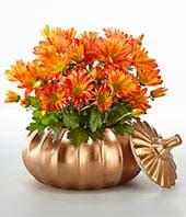 Mum Harvest Pumpkin Plant
