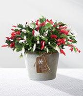 Christmas Cactus...