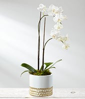 White Holiday Orchid