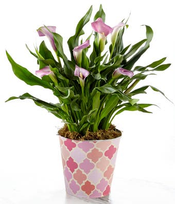 Blooming Pink Calla Lily Plant