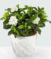 Stunning Gardenia...