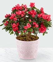Pinkish Red Blooming Azalea Plant