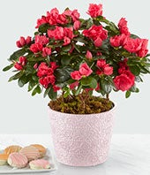 Pinkish Red Blooming Azalea Plant with Oreo Cookies