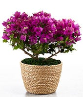 Bougainvillea Plant - BETTER