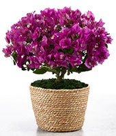 Bougainvillea Plant - BEST
