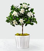 Pure Delight Gardenia Topiary
