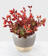 Red Velvet Echeveria Succulent in a ceramic container