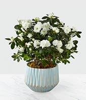 Peaceful Perennial Plant