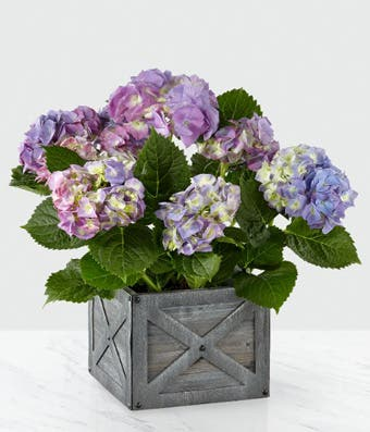 Blue Hydrangea plant delivery