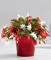 Cactus Christmas Wishes