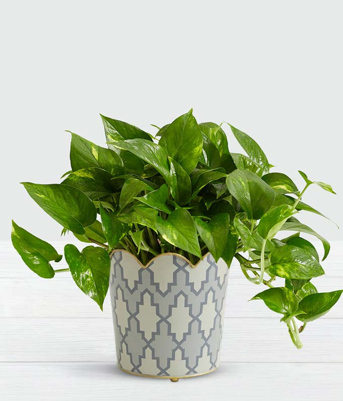 Chic Golden Pothos