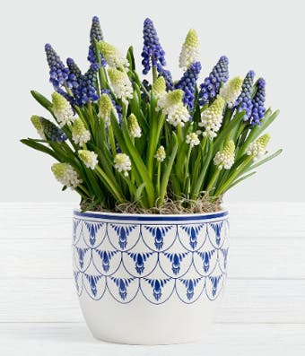 Muscari plant delivery