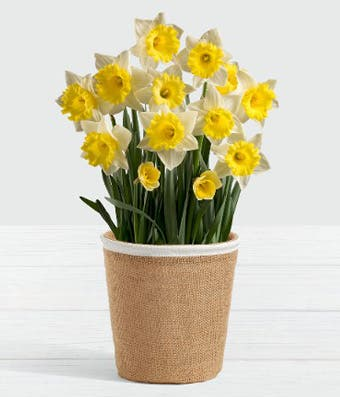 Daffodil plant delivery