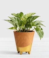 Breathe Easy Potted Pothos