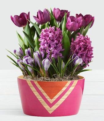 Purple Tulip Plant